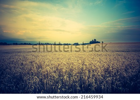 vintage photo of corn field. rye field - stock photo