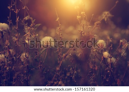 Vintage photo of dandelion field in sunset - stock photo