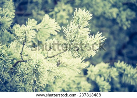 vintage photo of evergreen forest in winter