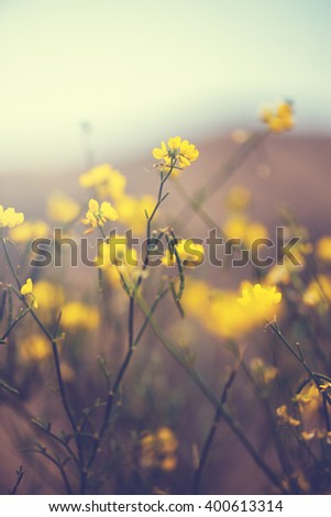 vintage photo of many wild meadow sift yellow flowers on dark field and sky background. Outdoor evening mystery photo of spring flora