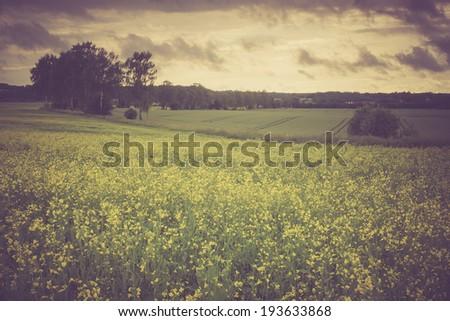 vintage photo of rape field - stock photo