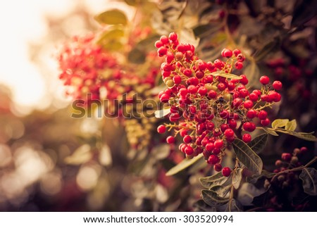 Vintage photo of red berries in sunset. Bunch of red rowan with red berries. Fall background with yellow leaves, red berries in front of blue sky background, autumn tree - stock photo