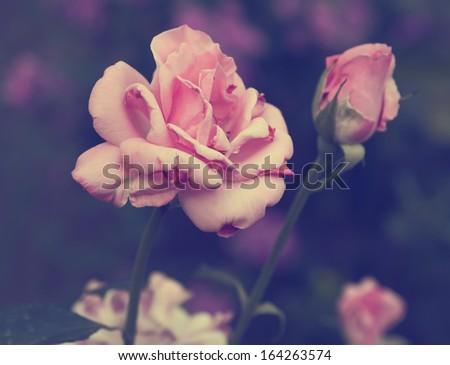 Vintage photo of rose - stock photo