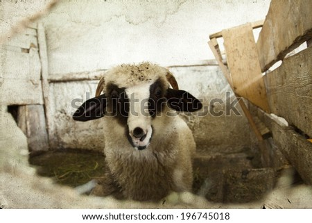 Vintage photo of sheep in pen - stock photo