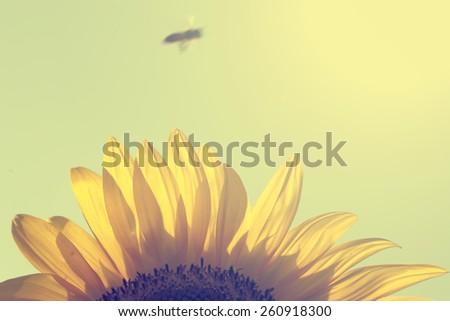 Vintage photo of sunflower closeup - stock photo