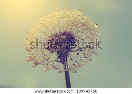 Vintage photo of wet dandelion - stock photo