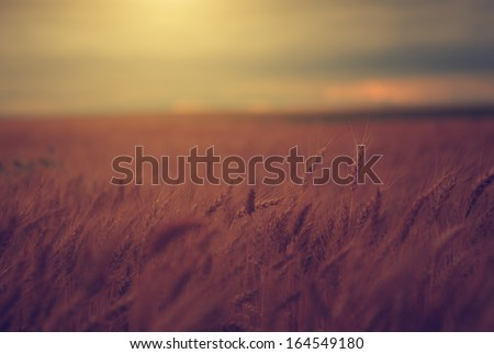Vintage photo of wheat field in sunset - stock photo