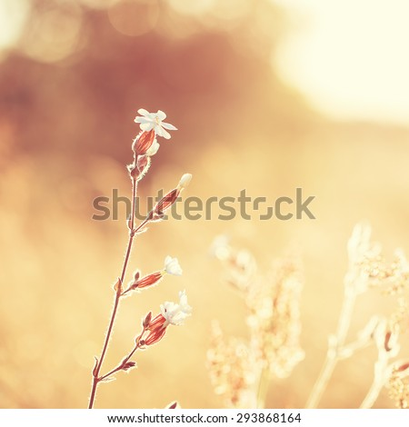 vintage photo of white flower in sunny autumn field. Fresh natural morning photo  - stock photo