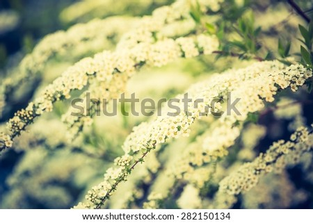 Vintage photo of white spirea blooming in beautiful hedge. Close up of springtime white flowers - stock photo