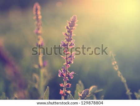 Vintage photo of wild flower in sunset - stock photo