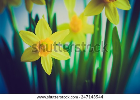 vintage photo of yellow daffodils on white background - stock photo
