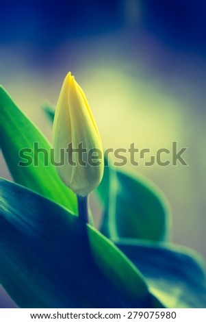 Vintage photo of yellow tulip flower. Beautiful springtime flower bouquet