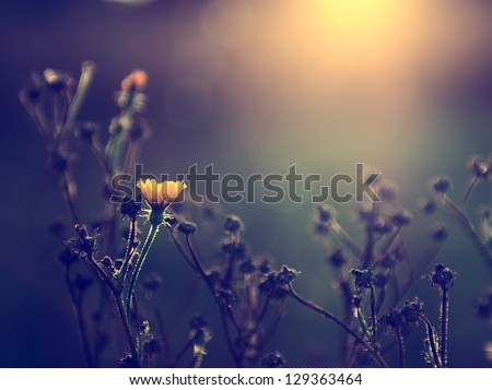 Vintage photo of yellow wild flower in sunset - stock photo
