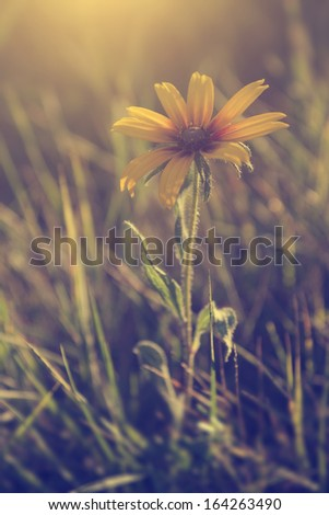 Vintage photo of yellow wild flower in sunset