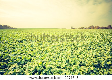 vintage photo of young rape seed field