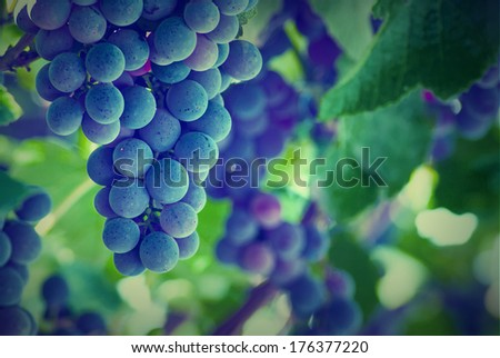 Vintage picture. Bunches of red wine grapes hanging on the wine - stock photo