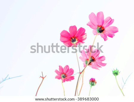 Vintage Pink Cosmos flowers blooming in the garden. - stock photo