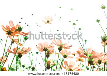 Vintage Pink cosmos flowers on white background - stock photo