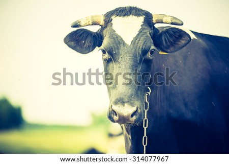 Vintage portrait of cow on pasture. Animal face photo photographed in outdoor