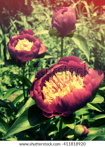 Vintage Red Peony Flowers in a Garden
