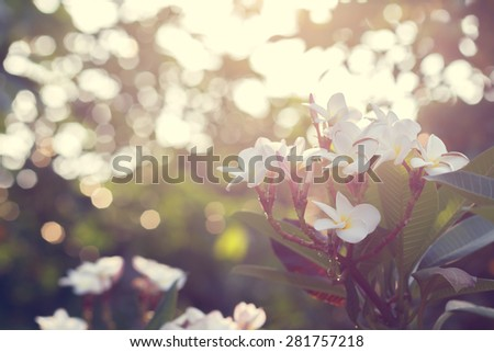 Vintage retro flowers background-Plumeria - stock photo
