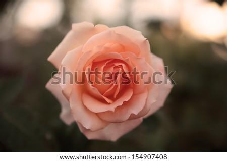 Vintage rose - stock photo