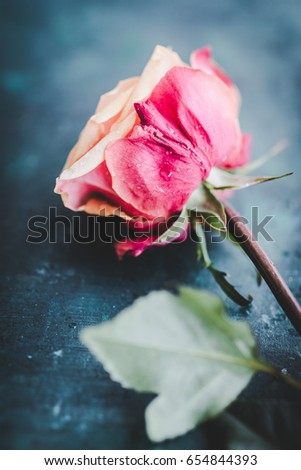 vintage rose on dark background, shallow depth of field