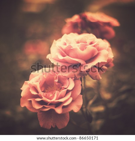Vintage Roses - stock photo
