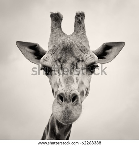 vintage sepia toned image of a Giraffes Head in the wild against the sky