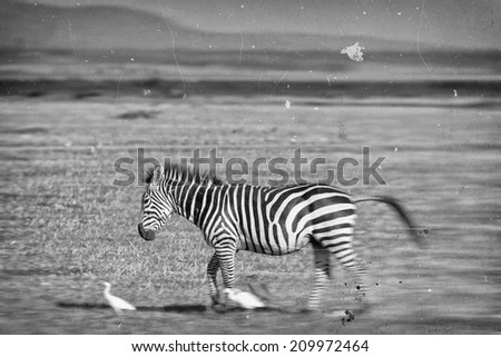 Vintage style balck and white blurred image of a moving Zebra in the Serengeti National Park, Tanzania - stock photo