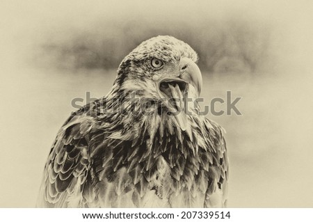 Vintage style black and white image of a Bald Eagle