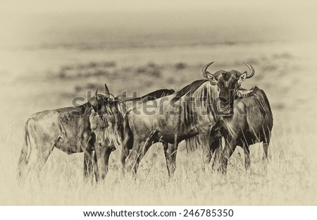 Vintage style black and white image of a group of Blue Wildebeests - Maasai Mara National Park in Kenya, Africa - stock photo