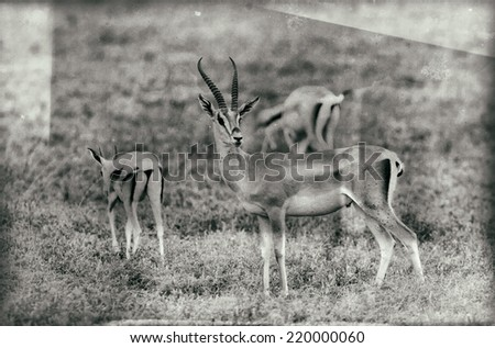 Vintage style black and white image of a group of Grant's Gazelles in the Serengeti National Park, Tanzania - stock photo
