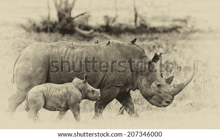 Vintage style black and white image of a White rhinoceros (Ceratotherium simum) with her baby in Lake Nakuru National Park, Kenya.  - stock photo
