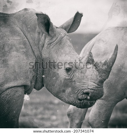 Vintage style black and white image of a White rhinoceros or (Ceratotherium simum) in Lake Nakuru National Park, Kenya. The white rhinoceros is one of the five species of rhinoceros that still exist. - stock photo