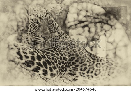 Vintage style black and white image of a Wild leopard lying in wait atop a tree in Masai Mara, Kenya, Africa - stock photo