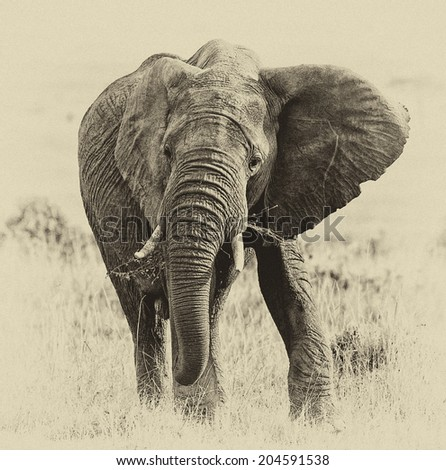Vintage style black and white image of an African Elephant feeding on the plains of the Masai Mara, Kenya, East-Africa - stock photo