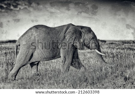 Vintage style black and white image of an African elephant in the Serengeti National Park, Tanzania  - stock photo