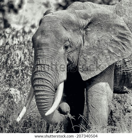 Vintage style black and white image of an African elephant in the Tarangire National Park, Tanzania - stock photo