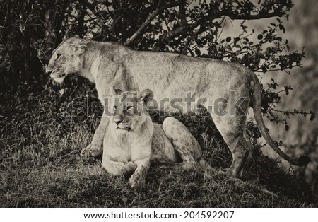 Vintage style black and white image of an African Lioness in the Maasai Mara National Park, Kenya