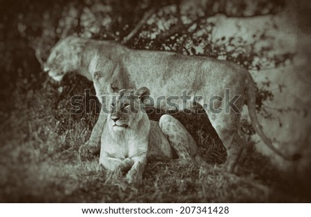 Vintage style black and white image of two African Lionesses in the Maasai Mara National Park, Kenya - stock photo