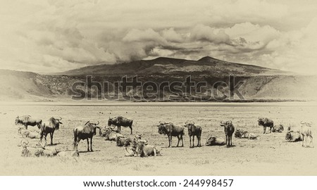 Vintage style black and white image of wildebeests in the Ngorongoro Crater, Tanzania