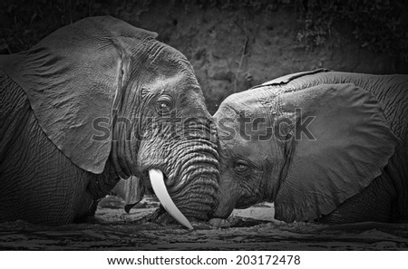 Vintage style black and white image of young male African elephants in the Kazinga Channel in Queen Elizabeth National Park, Uganda, East-Africa - stock photo