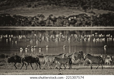 Vintage style black and white image of Zebras and wildebeests walking beside the lake in the Ngorongoro Crater, Tanzania, flamingos in the background - stock photo