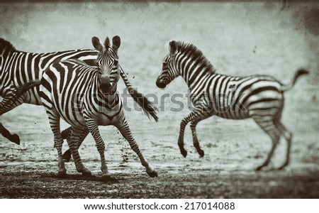 Vintage style black and white image of zebras at Lake Ndutu in the Serengeti National Park, Tanzania - stock photo