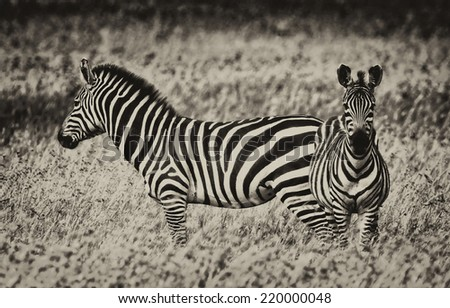 Vintage style black and white image of zebras in the Serengeti National Park, Tanzania