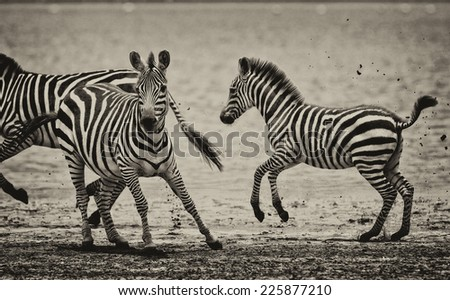 Vintage style black and white image of zebras in the Serengeti National Park, Tanzania, - stock photo
