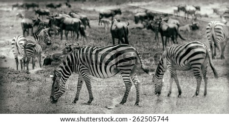 Vintage style black and white image of zebras in the Serengeti National Park, Tanzania - stock photo