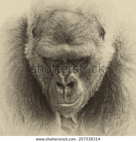 Vintage style black and white one of the most endangered animals, a great silverback Lowland Gorilla - stock photo