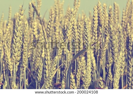 vintage style crops on the field - stock photo